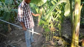 getlinkyoutube.com-สวนเกษตร - วิธีปลูกข่าอ่อนเป็นอาชีพแบบง่ายๆ