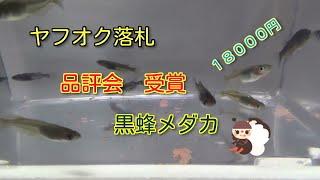 getlinkyoutube.com-ヤフオク黒蜂メダカ 落札18000円 品評会で数々の受賞歴があるらしいkillifishめだか