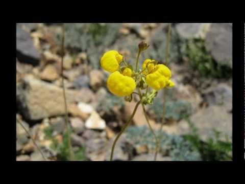 As flores da Cordilheira dos Andes