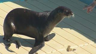 getlinkyoutube.com-Recovering seal becomes Mystic aquarium's new ambassador