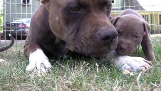 getlinkyoutube.com-Щенки Питбультерьер(4 недели) их мама и кошка.Pit Bull Puppies.ピット·ブルの子犬.
