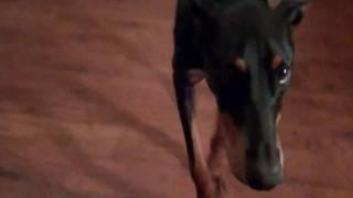getlinkyoutube.com-Sleepy Doberman won't go to bed without asking first.