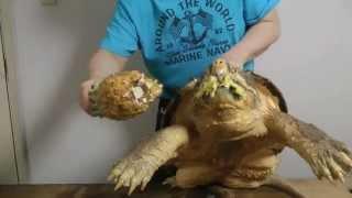 巨大ワニガメパイナップル斬り Alligator snapping turtle snaps a Pineapple off