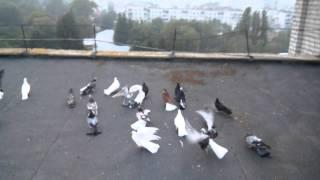 getlinkyoutube.com-Торцовые голуби Бердичев 2015