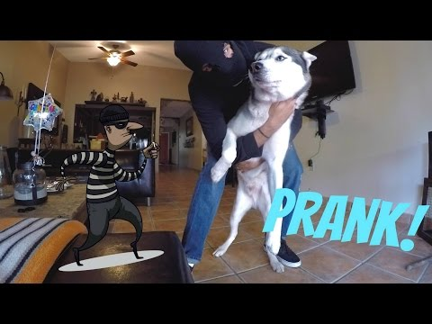 Burglar PRANK on my Dog! - Are Huskies Good Guard Dogs?