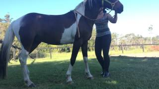 getlinkyoutube.com-Horse lay down and mount trick