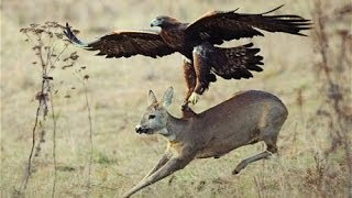 getlinkyoutube.com-Top 3 Best Eagle Attacks (OWL, DEER & WOLF)