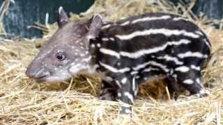 Endangered Tapir's First Words