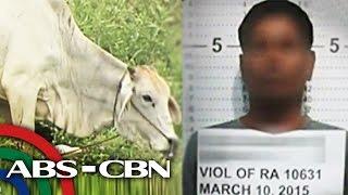 Bago husgahan ang suspek sa 'cow rape,' panoorin ito