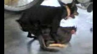 getlinkyoutube.com-dog fuck with chicke
