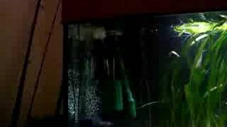 getlinkyoutube.com-wild redbelly piranhas vs mouse 3