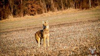 "getlinkyoutube.com-Coyote Hunting ""Dirt Naps 3"""