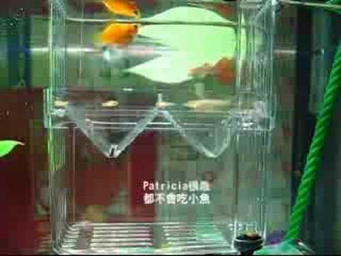黃母球魚生小魚,孔雀魚虎視眈眈