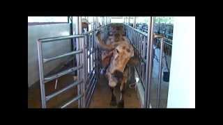 getlinkyoutube.com-Vacas Gir Leiteiro em ordenha no Troncão