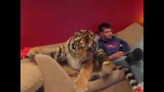 getlinkyoutube.com-Harimau Binatang Peliharaan Di Rumah