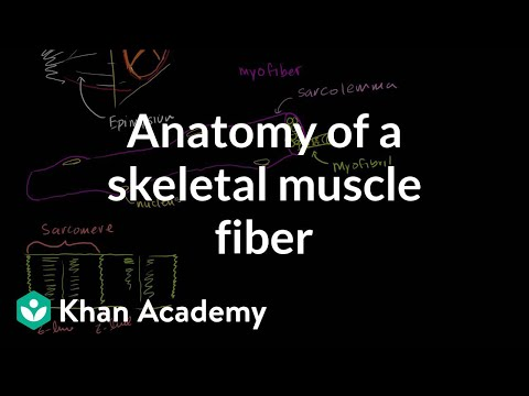 Anatomy of a muscle cell