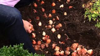 getlinkyoutube.com-How To Plant 100 Tulips in 30 minutes