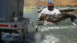 "getlinkyoutube.com-Giant Tilapia & ""Silver"" Channel Catfish Stocking - 7/6/10"