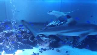 getlinkyoutube.com-自宅サメ水槽 ブラックチップシャーク
