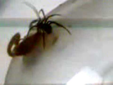 Videos Related To 'batalla !! Viuda Negra Vs Escorpion'