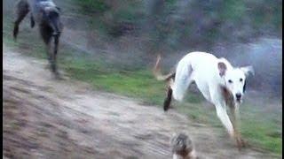 getlinkyoutube.com-05.- Galgos vs Liebres V --- Greyhounds vs Hares V (Los animales se comen la cámara)
