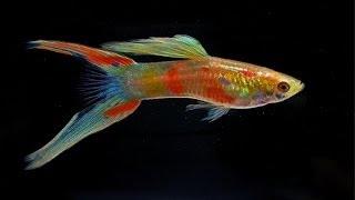 """getlinkyoutube.com-High breed guppies - not ordinary """"million fish"""" at aqua EXPO 2013"""
