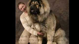 getlinkyoutube.com-Top 10 Best and Biggest Guard Dogs in the World 2013