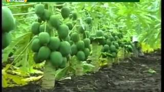 Varieties of Papaya and methods to grow it