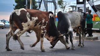 getlinkyoutube.com-Bull Fight. Rajamahendravaram (Rajahmundry) India