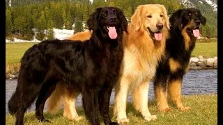getlinkyoutube.com-Hovawart - Dog Breed