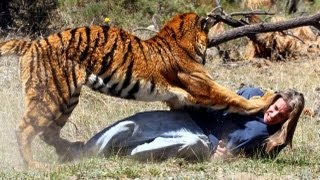 Tiger Attacks Man: Real Tiger Attack Stunt