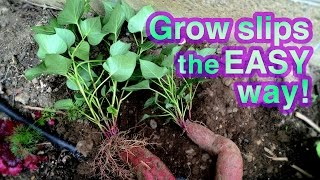 getlinkyoutube.com-How to Grow Sweet Potato Successfully -- It's Super EASY!