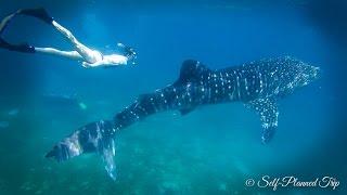 getlinkyoutube.com-Oslob Whale Sharks Watching - Cebu, Philippines