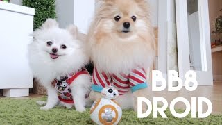 getlinkyoutube.com-Puppy meets BB8 droid from Star Wars!!!   &   Christmas