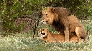 getlinkyoutube.com-Lion mating ritual up close