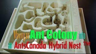 getlinkyoutube.com-Moving an Ant Colony into an AntsCanada Hybrid Nest ™