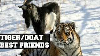 getlinkyoutube.com-Tiger and Goat's  unlikely friendship.
