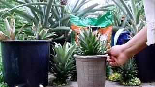 getlinkyoutube.com-Pineapple Propagation from Pineapple Crowns.wmv