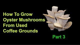 getlinkyoutube.com-How To Grow Oyster Mushrooms From Used Coffee Grounds - Part 3: Final Steps And Harvest
