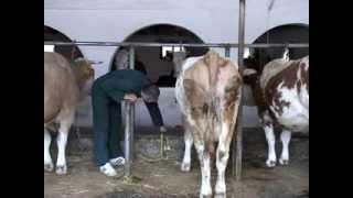 getlinkyoutube.com-Držanje krava