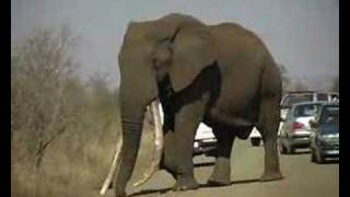 "getlinkyoutube.com-""DUKE"", Krugerpark's biggest Elephant"
