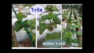 getlinkyoutube.com-ไวรัสพืช วิธีป้องกันและควบคุมไวรัส เชื้อรา แบคทีเรีย เค้ามีวิธีจัดการอย่างไรถึงได้ผลผลิตดีมีคุณภาพ