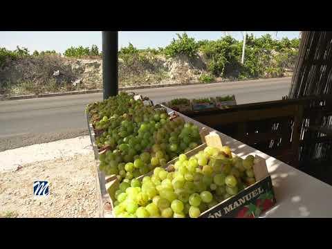 Comienza la vendimia de la uva