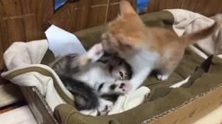 getlinkyoutube.com-【猫おもしろ動画】子猫マジ喧嘩勃発(T^T)Funny Cats fight