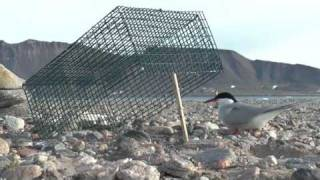 getlinkyoutube.com-Arctic tern trap