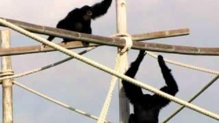 "getlinkyoutube.com-""Singing"" Gibbons"