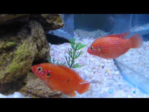 Red Jewel Cichlid Eggs Breeding Cichlids Corner Aquarium Fish Tank Red Devil Kribensis
