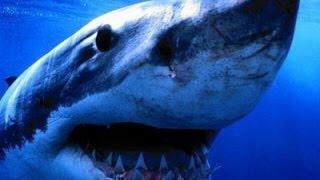 Alaskan Killer Shark - Nature Documentary (HD) width=