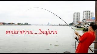 getlinkyoutube.com-ตกปลาสวาย