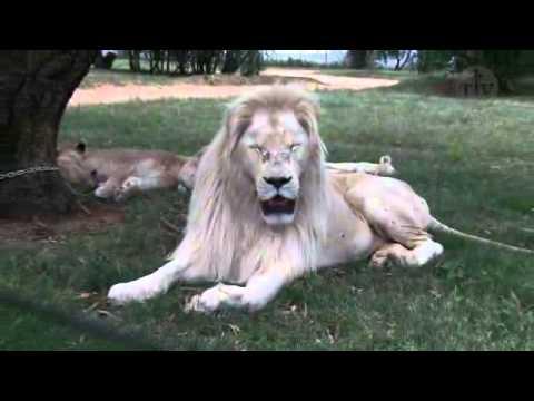 Os raros leões brancos -- África do Sul